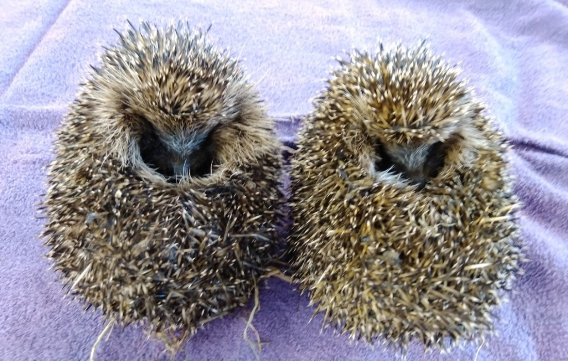The Sheffield College staff launch Hedgehog Friendly Campus project